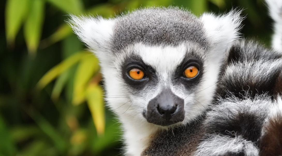 A lemur in Madagascar is posing for a picture for one of our Projects Abroad Conservation volunteers.